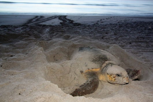 Museum of Discovery and Science Announces  Summer Time Moonlight Sea Turtle Walks for June and July 2017